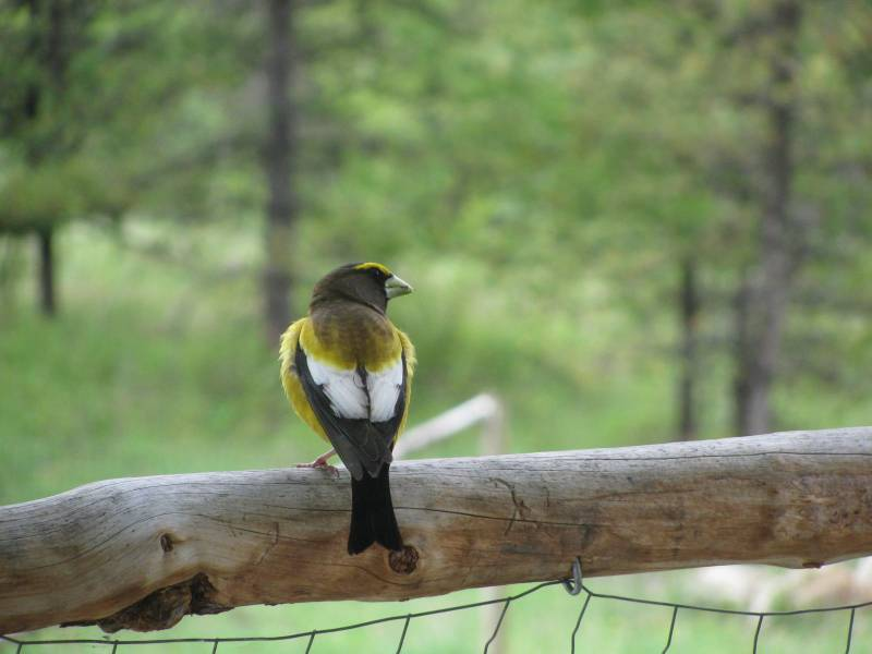 A yellow bird sits on a wire fence in a small garden.