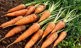 Grown carrots freshly dug sitting on the soil