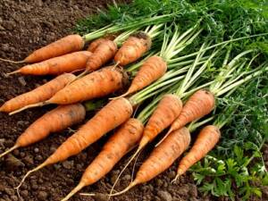 Grown carrots freshly dug sitting on the soil