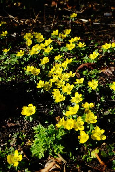 A bed of blooming yellow Eranthis bulbs for Spring flowers