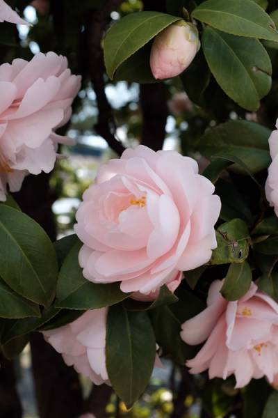 a winter blooming camellia is a perfect way to bring visual interest to a winter garden.