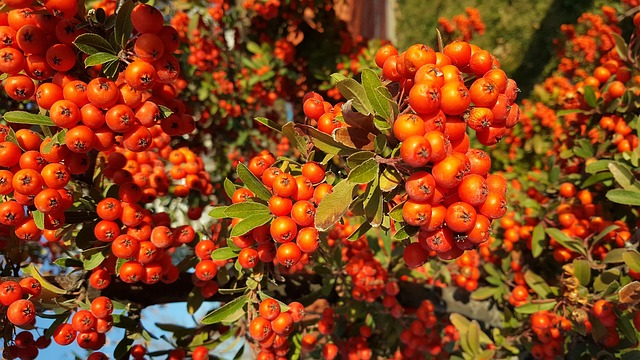 A firethorn shrub with bright orange berries