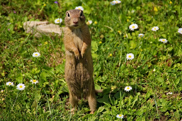 Gophers can eat Spring blooming flower bulbs