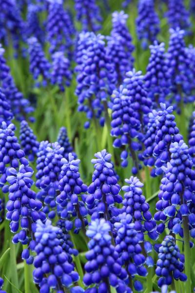 Grape Hyacinth patch in bloom
