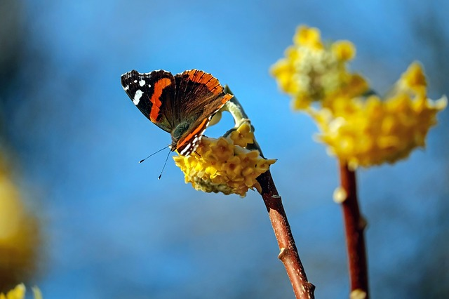 a butterfly sits on the yellow blooms of a paper bush