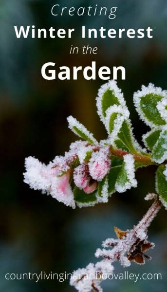 blooming winter shrub with frost