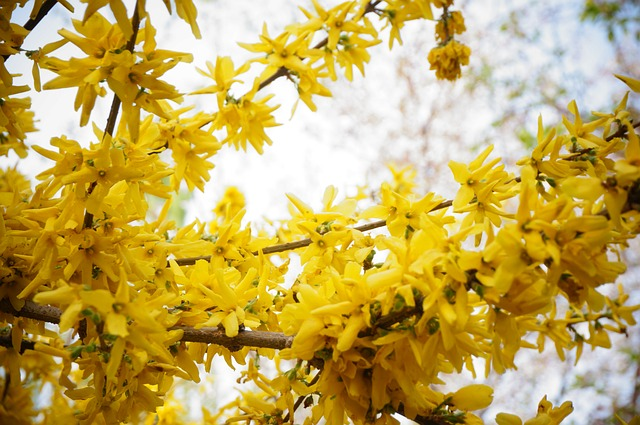 Yellow blooming winter jasmine adds beautiful visual interest to a winter garden