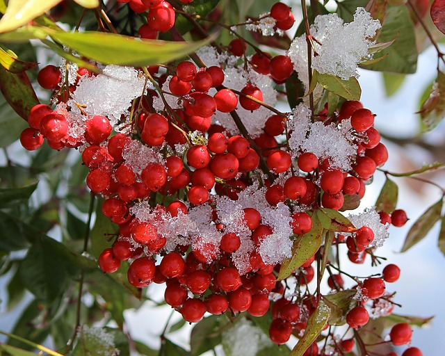 a winterberry shrub with snow on it