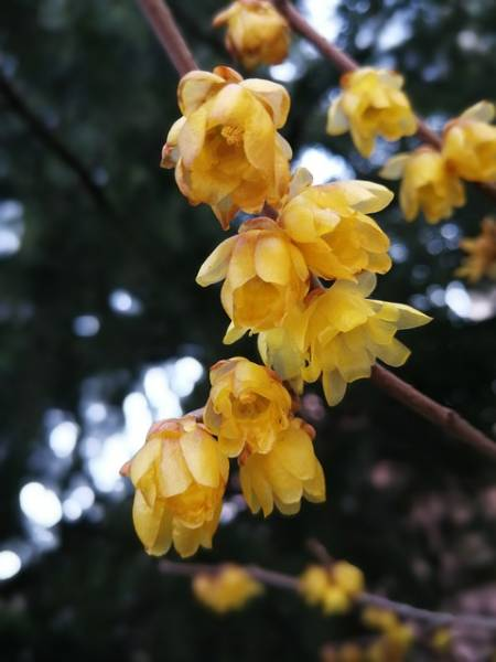 Blooming yellow wintersweet