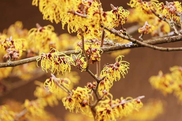 The yellow flowers of witch hazel are a pretty way to add visual interest to a winter garden.