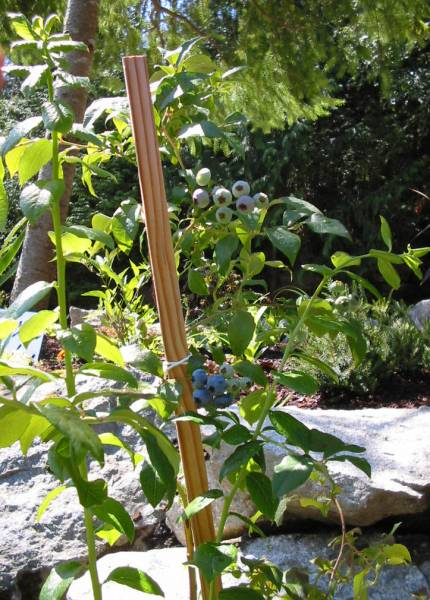 Growing blueberries to eat because they are an immune system booster.