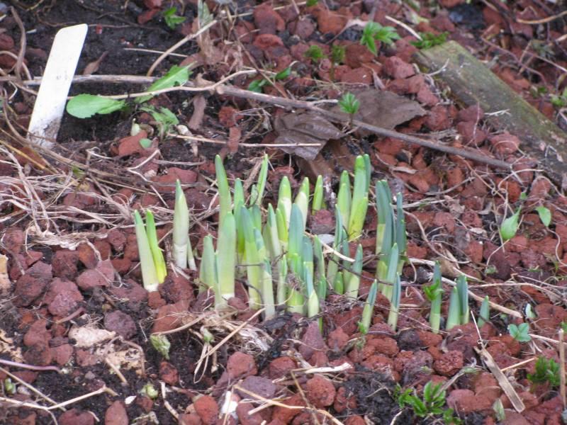 Hosta Pips emerging from the garden