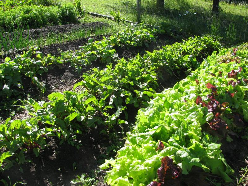 Spinach and beet greens growing in the garden.