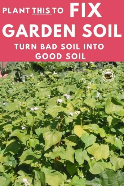 Buckwheat growing in garden to improve soil