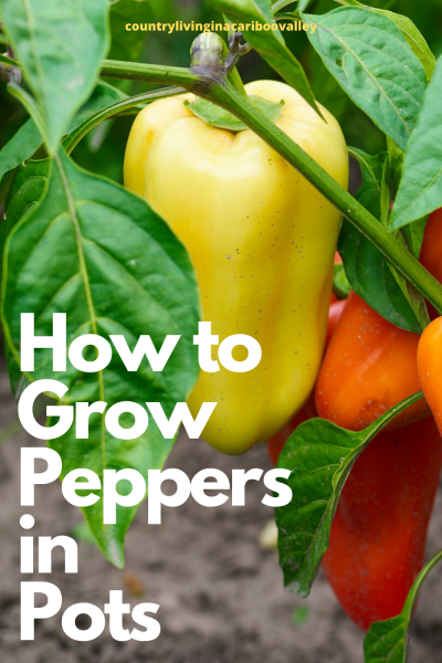 What size container for pepper plants. These orange peppers grow in a 12 inch pot
