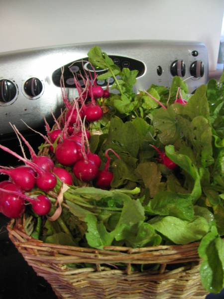 a harvest of beautiful red radishes