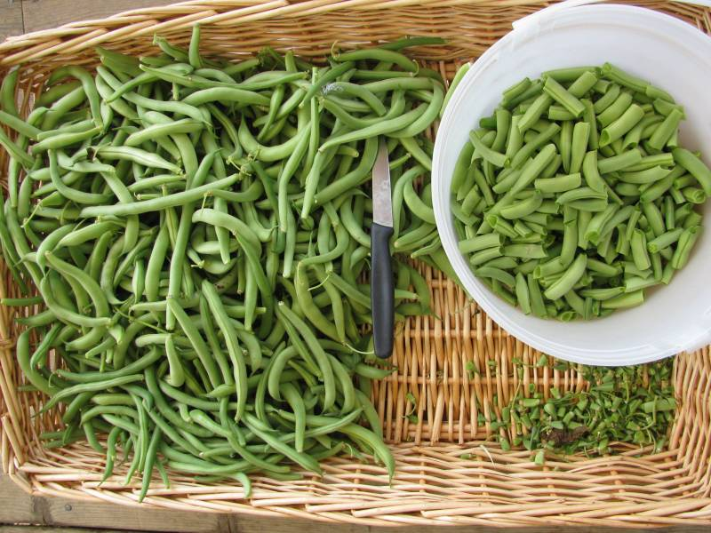 fresh picked beans in a basket
