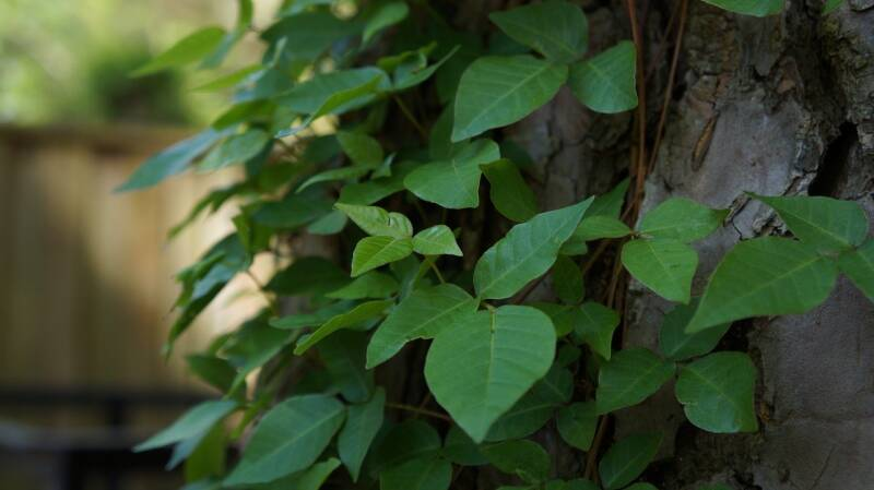 identifying poison ivy plants climbing up around a tree