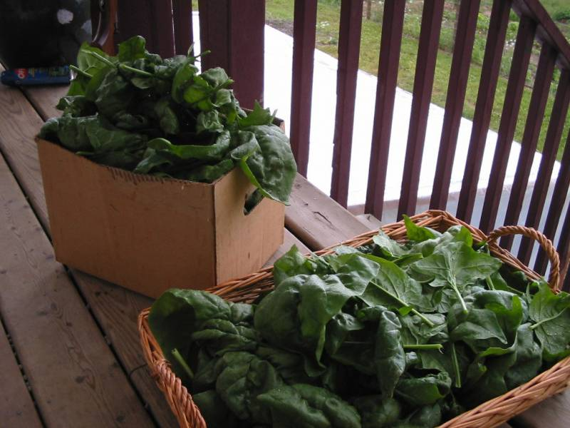 a harvest of spinach ready for preserving