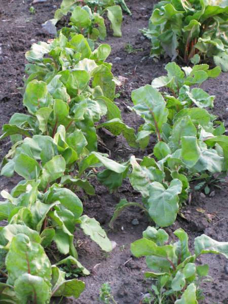 Grow beets in the garden or containers