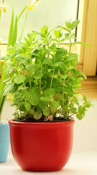Mint growing inside in a pot