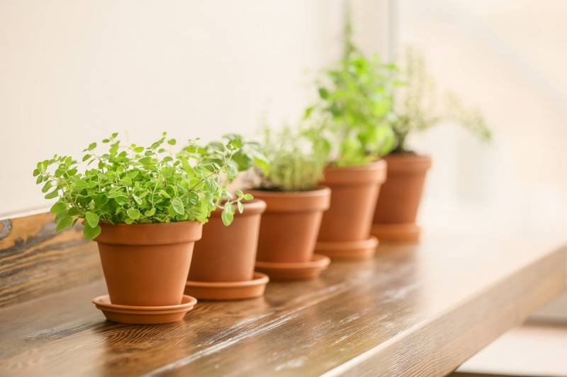 Oregano is a herb you can grow indoors easily.