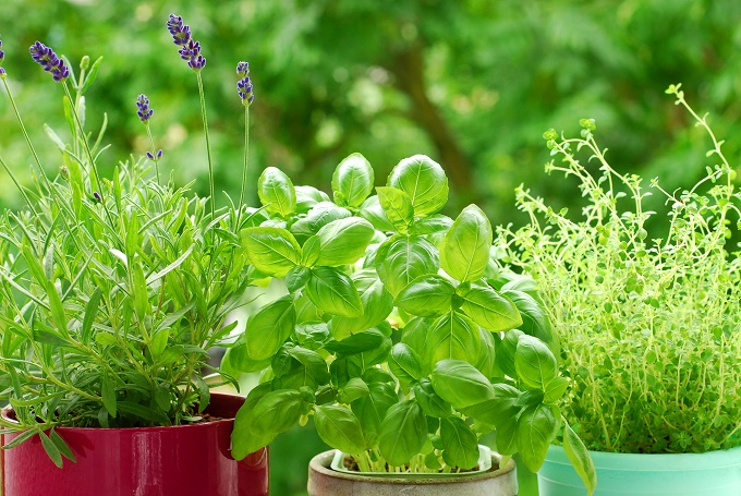 Basil is one of the herbs and spices you can grow indoors.