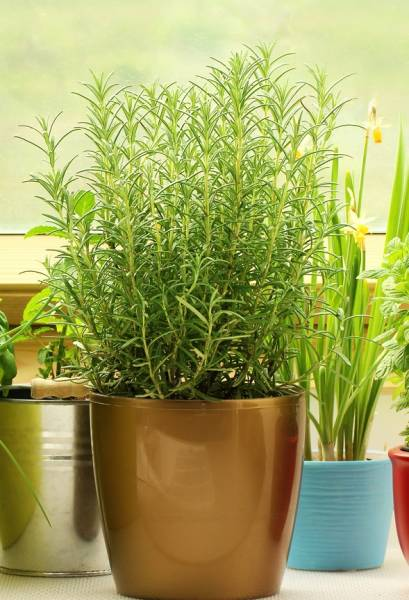 A potted Rosemary herb plant grows inside