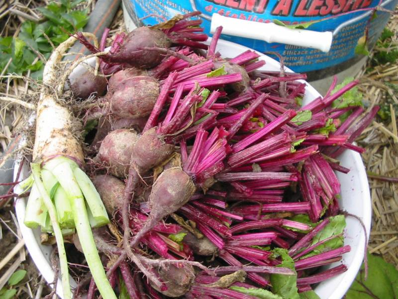 Thinned small beets can be used for making Pickled Beets