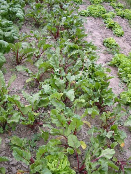 Thin growing beets to allow enough room for roots to grow big.