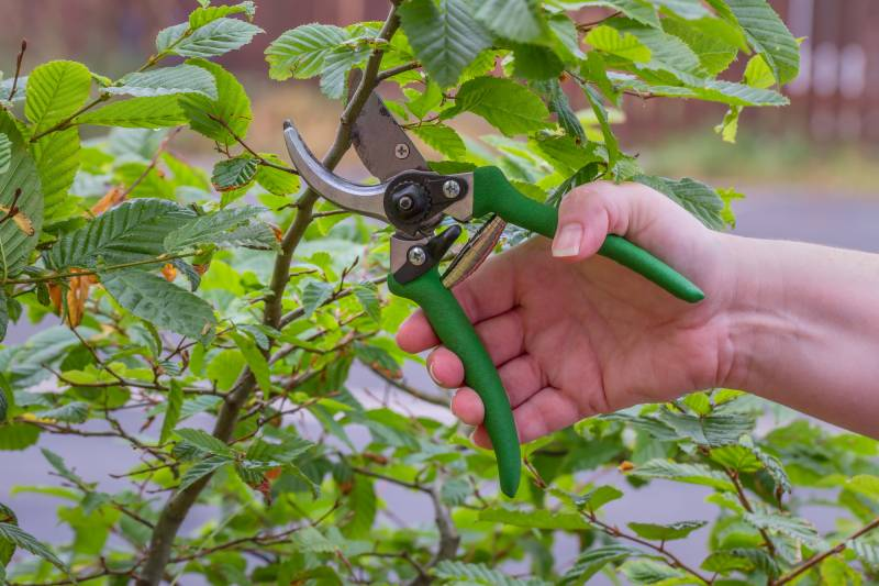 A sharp clean pair of pruning shears cutting raspberry canes.