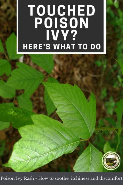 A poison ivy plant
