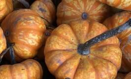 pumpkins ready for winter storage