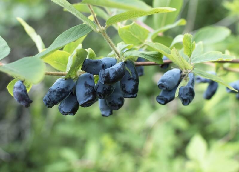 Growing Haskap berries bushes in bloom