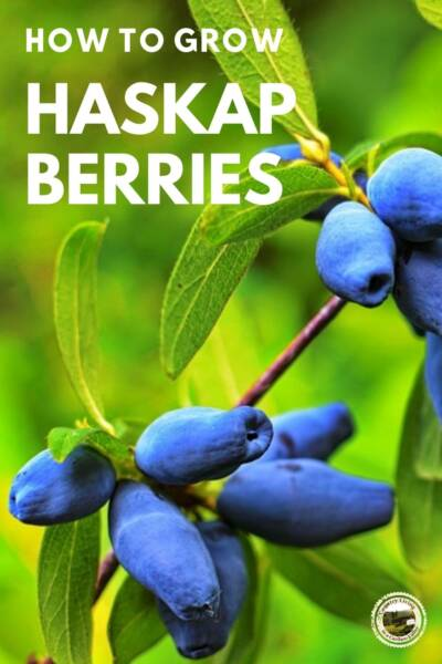 Haskap berries growing on the bush.