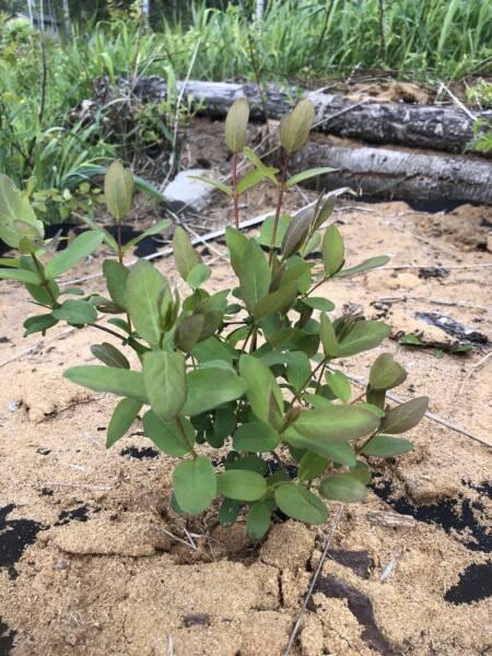 Transplanted Haskap Berry in garden bed