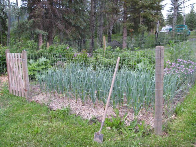 Garlic growing alongside raspberry plants