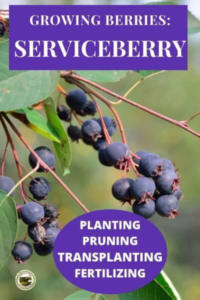 Serviceberry bush with ripe fruit
