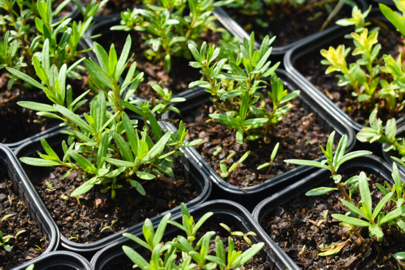 How to grow herbs indoors or outdoors