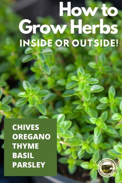 How to grow herbs like this thyme, growing in a pot.