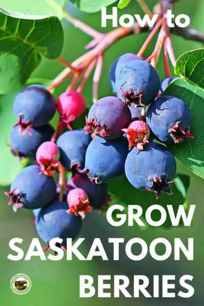 Growing Saskatoon berries on the bush.