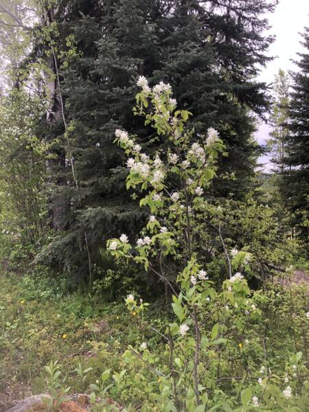 Growing Saskatoon berries means pretty blooming spring shrubs