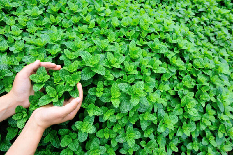 Grow Mint herb in a pot so you can keep it contained.
