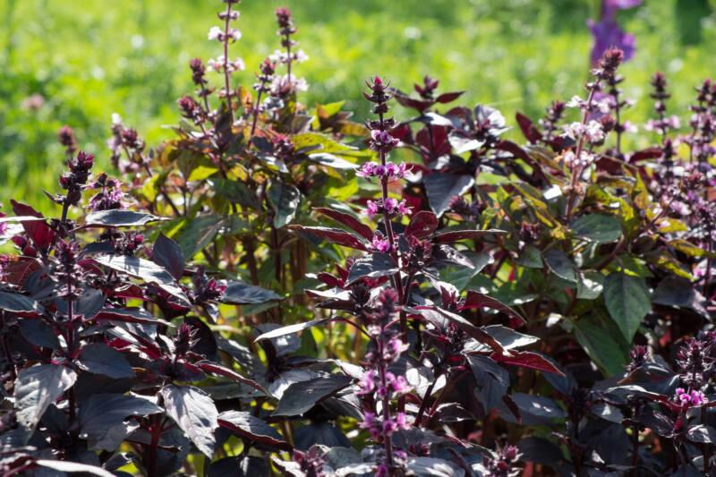Purple Basil in an outdoor herb garden.