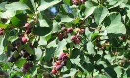 Growing Saskatoon Berry bushes in a backyard