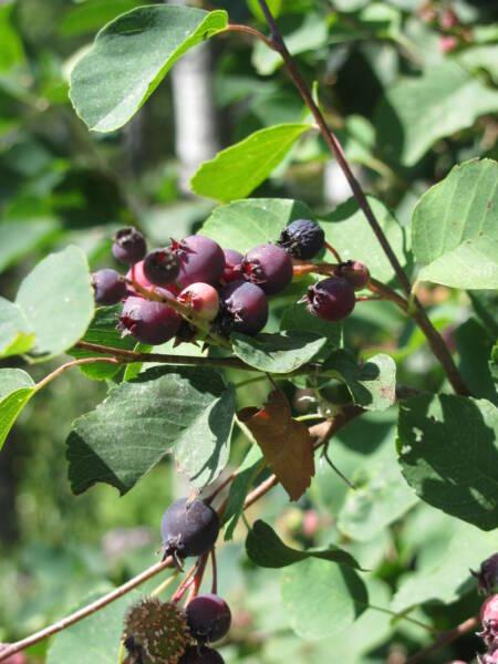 Saskatoon Berries Ripening