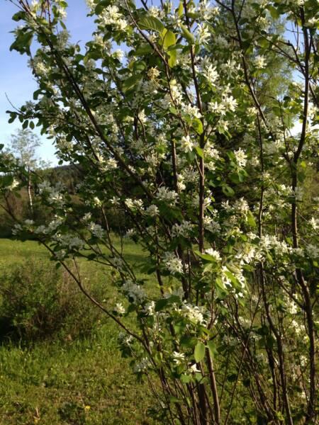 flowering Saskatoon berry bush