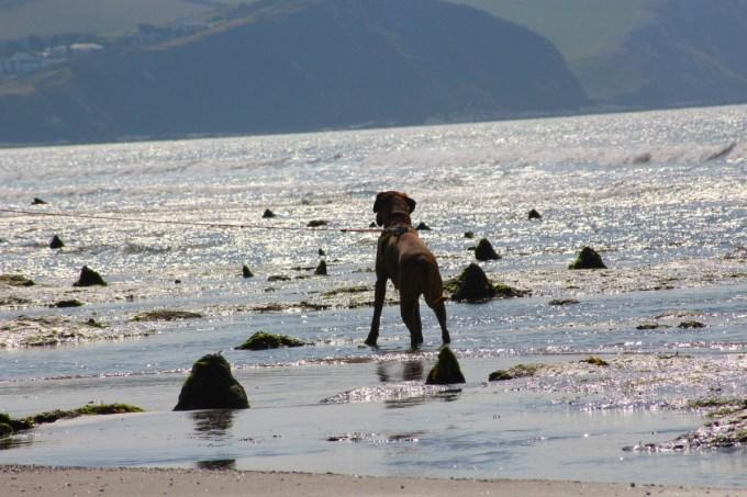 Boxer dog on Borth beach