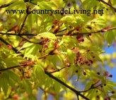 Клен японский дланевидный 'Katsura', цветение