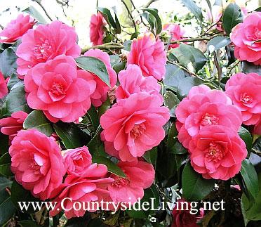 Камелия цветок фото садовая цена